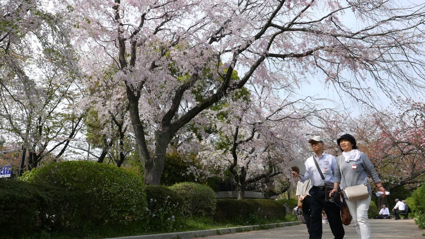 зрителей : Mature tourists walk under white cherry trees blooming in spring, Tokyo Japan Стоковые видеозаписи