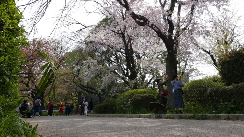 Enjoy blooming sakura trees in spring, Tokyo, Japan Stock Footage