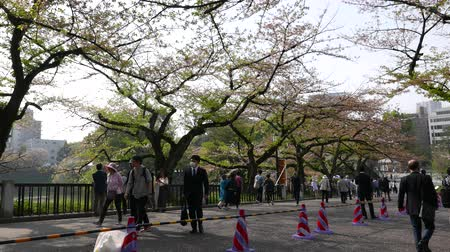 People walk under blooming cherry trees in spring, Tokyo, Japan Wideo