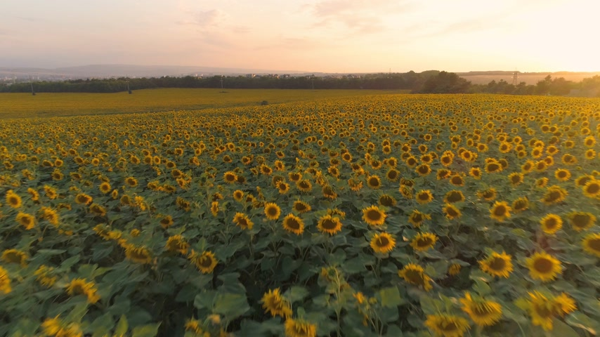 назад : Sunflowers field at sunset and colorful sky. Drone is flying backward at low angle. Aerial view