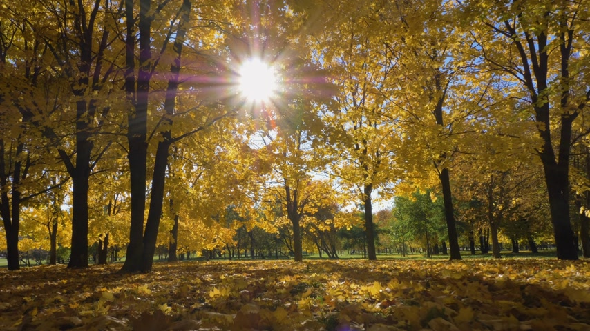 fallen leaves : Park or Forest with Yellow Maple Trees at Sunny Autumn Day. Camera is Moving Forward at Low Angle. Steadicam Shot. Slow Motion. Sun is Shimmering Through Trees Stock Footage