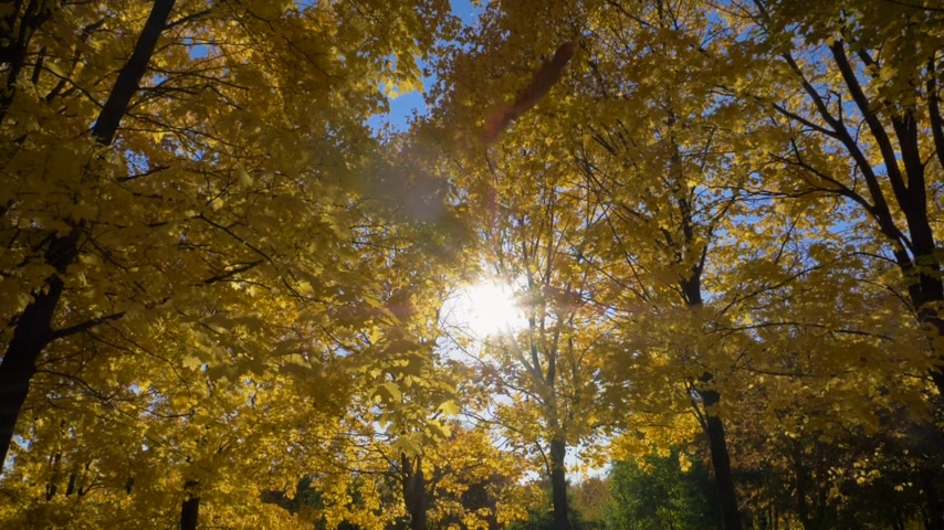 golden falls : Falling Leaf and Yellow Maple Trees in Autumn Park at Sunny Day. Blue Sky. Slow Motion Stock Footage