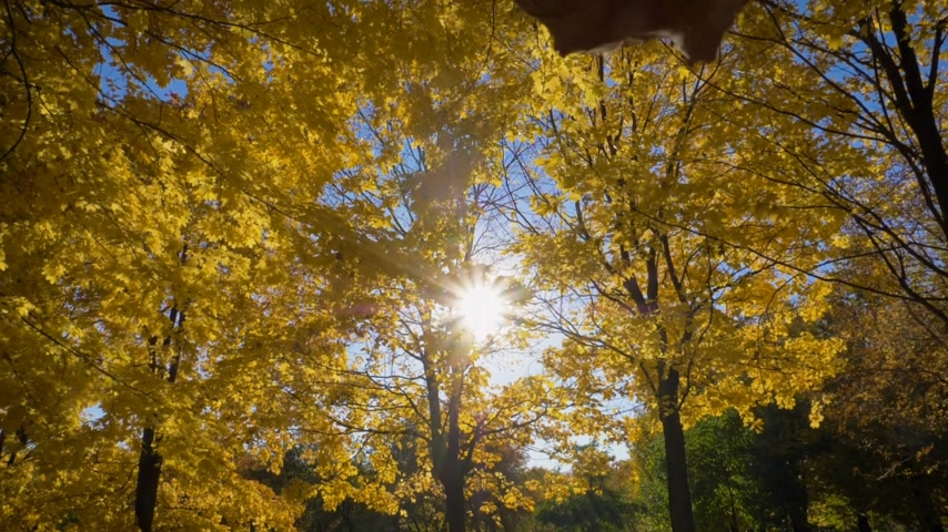 csillogás : Falling Leaf and Golden Yellow Maple Trees in Autumn Park at Sunny Day. Blue Sky. Slow Motion
