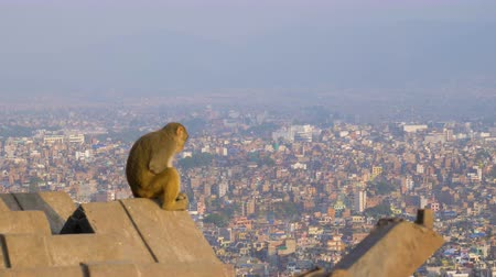 monkey temple : Monkey on Svajambhunath Temple and Kathmandu City Panorama at Sunny Day. Nepal Stock Footage