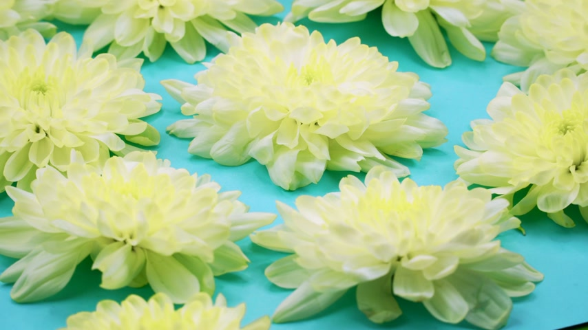 spring flowers : ROTATION: A flowers are rotating on a blue background. Top view Stock Footage