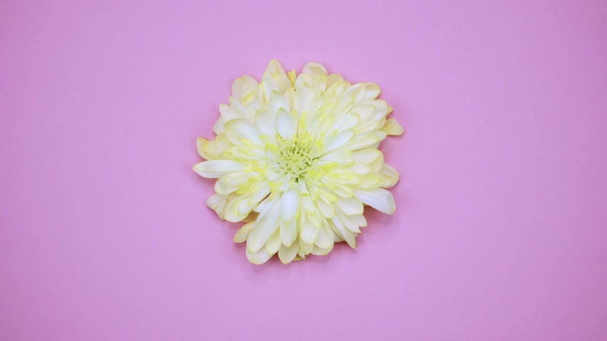 lays : ROTATION: A flower are rotating on a pink background. Top view