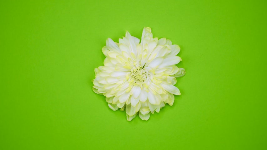 png : ROTATION: A flower are rotating on a green background. Top view Stock Footage