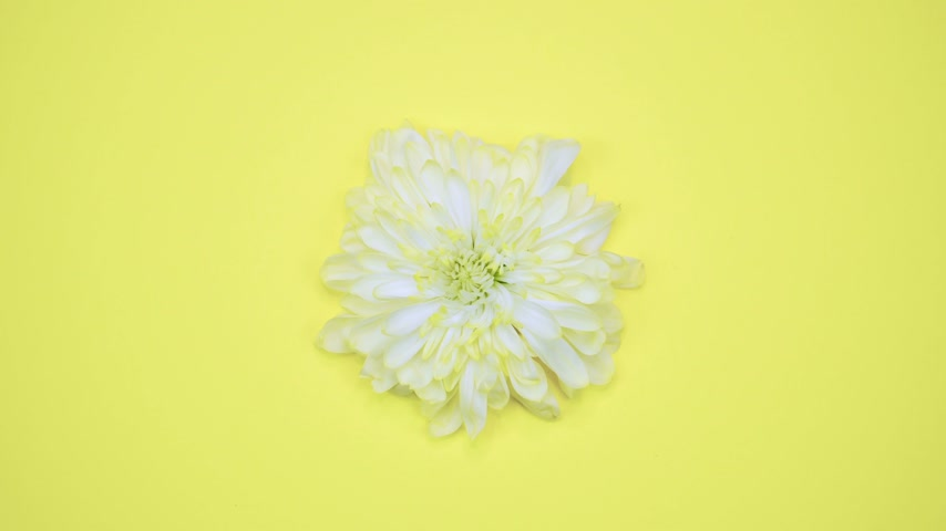 blooming time lapse : ROTATION: A flower are rotating on a yellow background. Top view