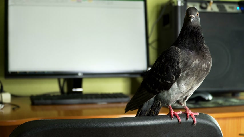significado : pigeon near the computer