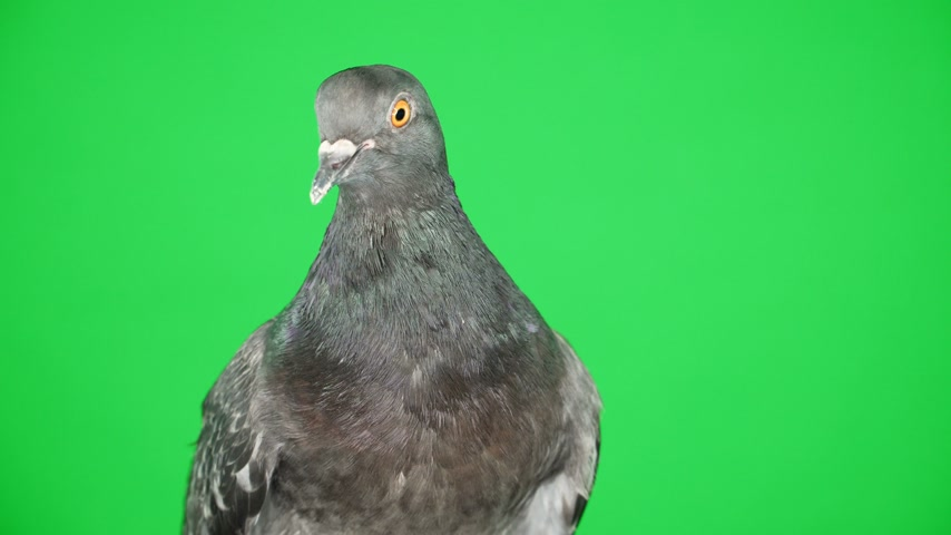 beak : Close up. Dove on the green screen Stock Footage