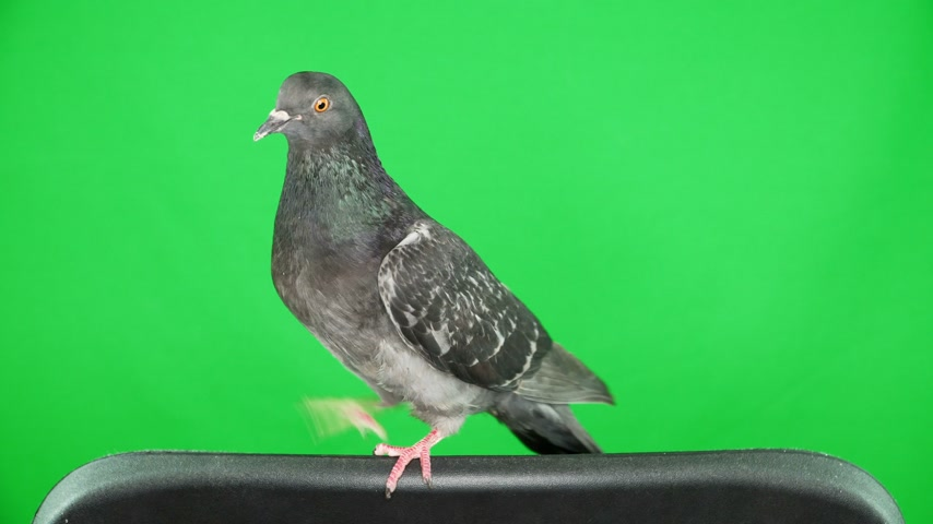 influenzy : dove on the green screen