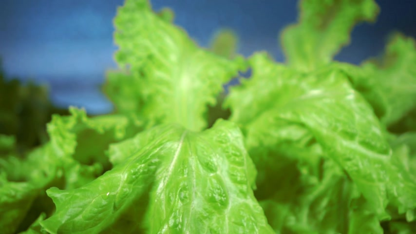 oak : Lettuce in greenhouse hydroponics
