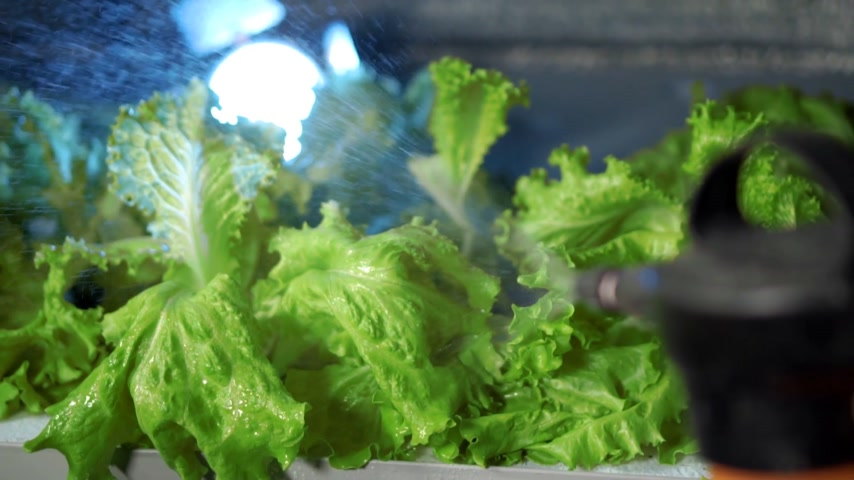 oak : watering lettuce in greenhouse hydroponics Stock Footage