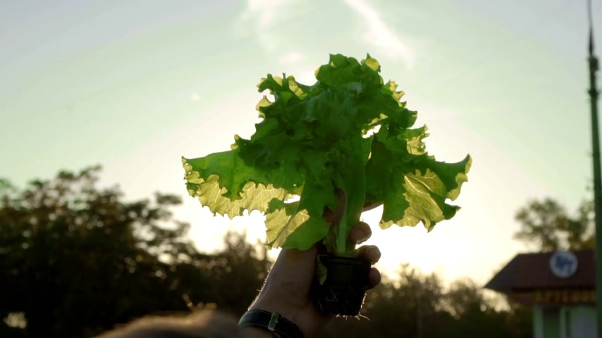 hydroponic : green lettuce on the background of the sun hydroponically grown Stock Footage