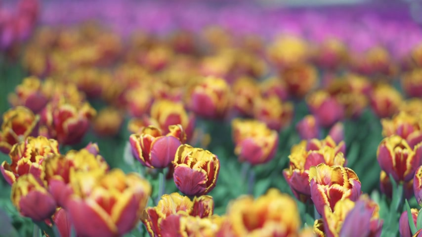 díszítés : beautiful colorful tulips flowers bloom in spring garden.Decorative tulip flower blossom in springtime.Beauty of nature and vibrant color