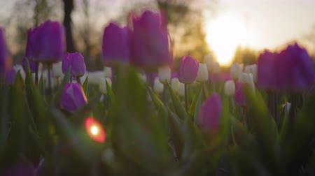 beautifully : Purple flowers tulips swaying gently from a weak wind. The rays of the setting sun beautifully illuminate the flowers. Close-up. Stock Footage