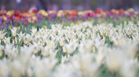 tulipan : beautiful colorful tulips flowers bloom in spring garden.Decorative tulip flower blossom in springtime.Beauty of nature and vibrant color