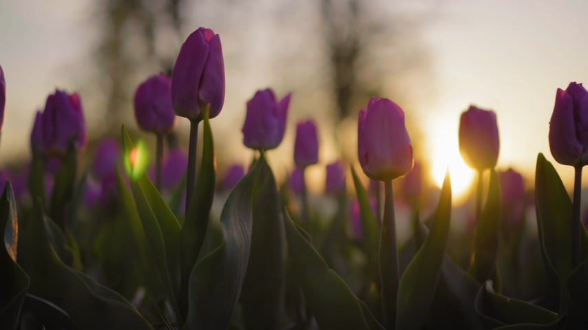 díszítés : Purple flowers tulips swaying gently from a weak wind. The rays of the setting sun beautifully illuminate the flowers. Close-up. Stock mozgókép