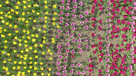 laleler : Top view. multicolored tulip heads from above as they sway back and forth in the breeze