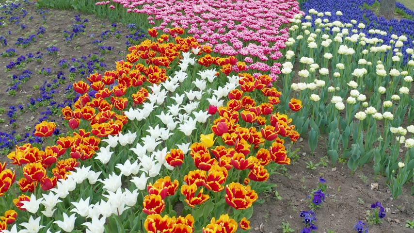 花びら : Fields tulips in Keukenhof area near Amsterdam, Netherlands