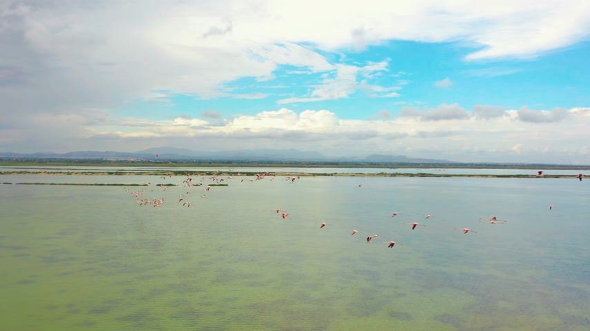 flamingi : Aerial view. Flamingos, flying close to the camera at sunset over the lake.