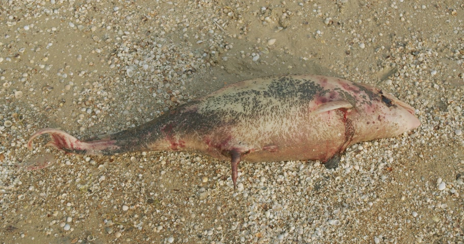 matança : The carcass of a dead Dolphin washed up on a beach.