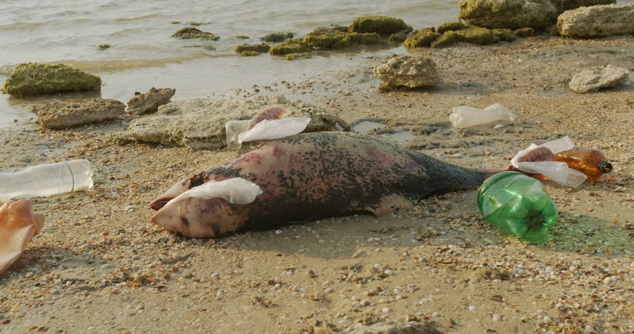 delfín : Environment and wildlife: dead young dolphin on the sea shore. Earth wildlife, environmental pollution, ecological catastrophe. Dead animal.