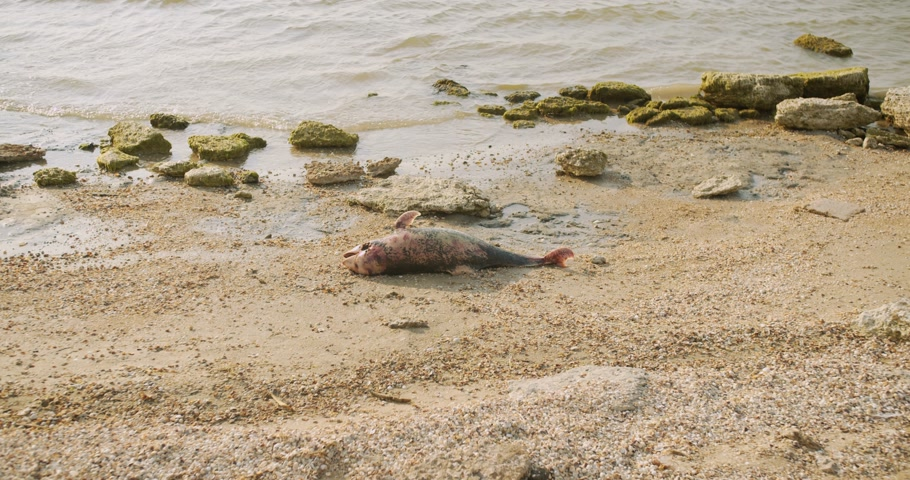 lijk : The body of a dead Dolphin stranded on a sand beach.