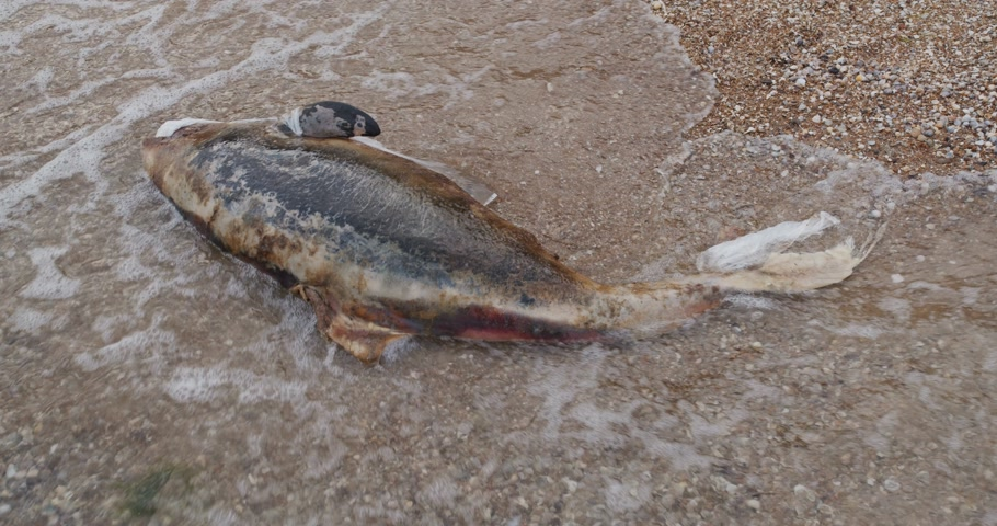 catástrofe : Dead young dolphin on the sea shore. Earth wildlife, environmental pollution, ecological catastrophe. Dead animal.