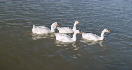 zwanenmeer : Beautiful white ducks swimming in lake.