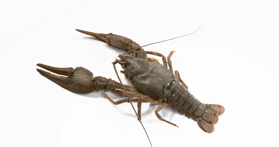 kerevit : Live crayfish on white background. European crayfish Astacus astacus.