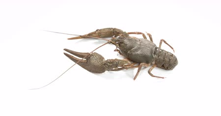cozinhar : Live crayfish on white background. European crayfish Astacus astacus.