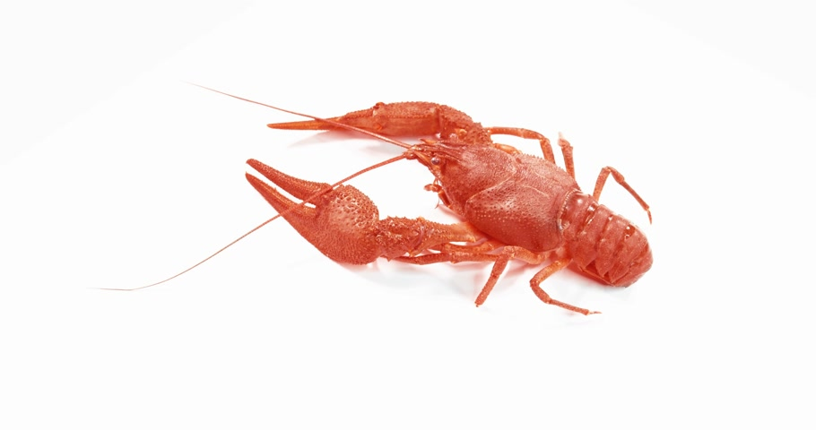 shellfish : Red crayfish Walking on White Background.
