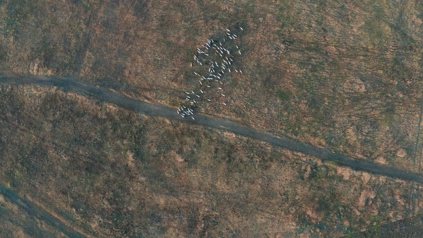 cordeiro : Aerial view. Goats grazing in field on farmland.