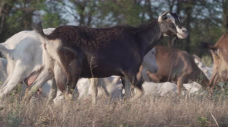 one by one : Herd of goats on nature pasture. Wildlife and ecology.