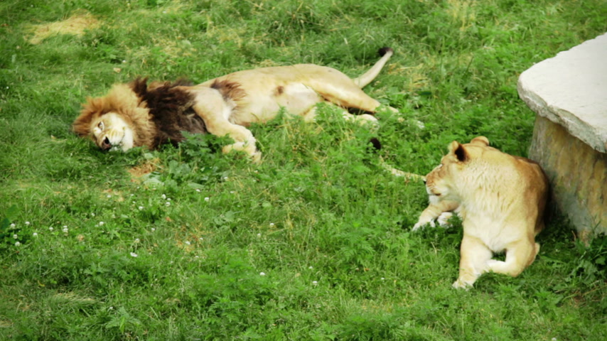 pawed mammal : Relaxing Lion Couple on grass