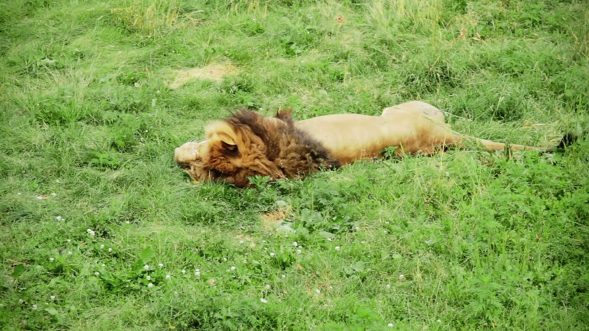 pawed mammal : Lion Sleeping and moving the Tail
