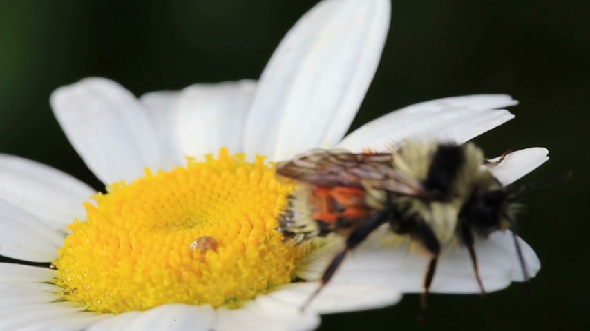 kamilla : Macro Video of a Bee on a Beautiful Daisy Flower Stock mozgókép