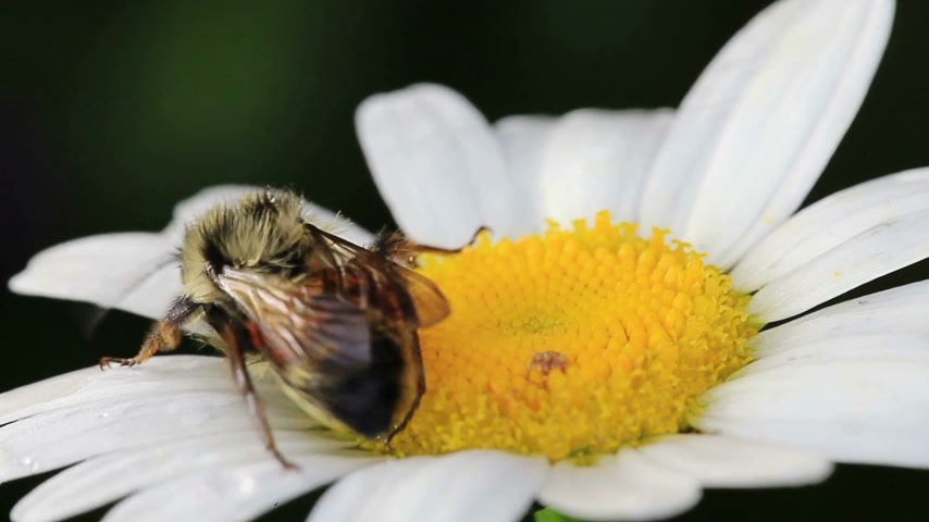 margarida : Macro Video of a Bee on a Beautiful Daisy Flower Vídeos
