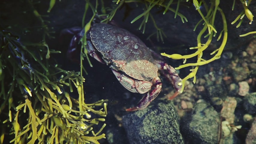 омар : Crab Trying to Hide Underwater during a Low Tide Period Стоковые видеозаписи