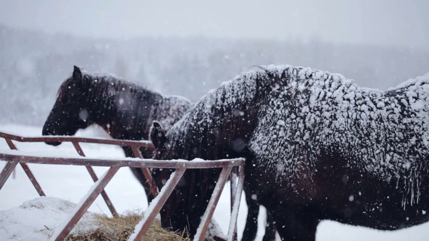 égua : Horses eating Hay during a Winter Blizzard