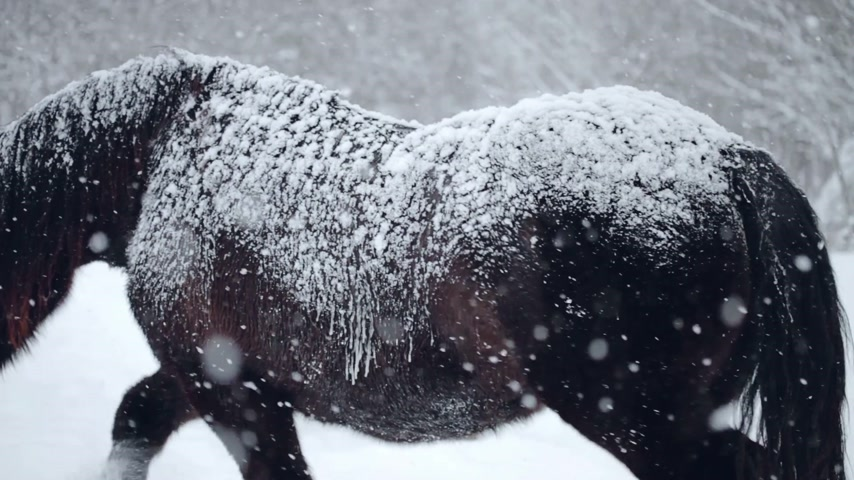 poník : Horses Outdoor during a Cold Winter Blizzard