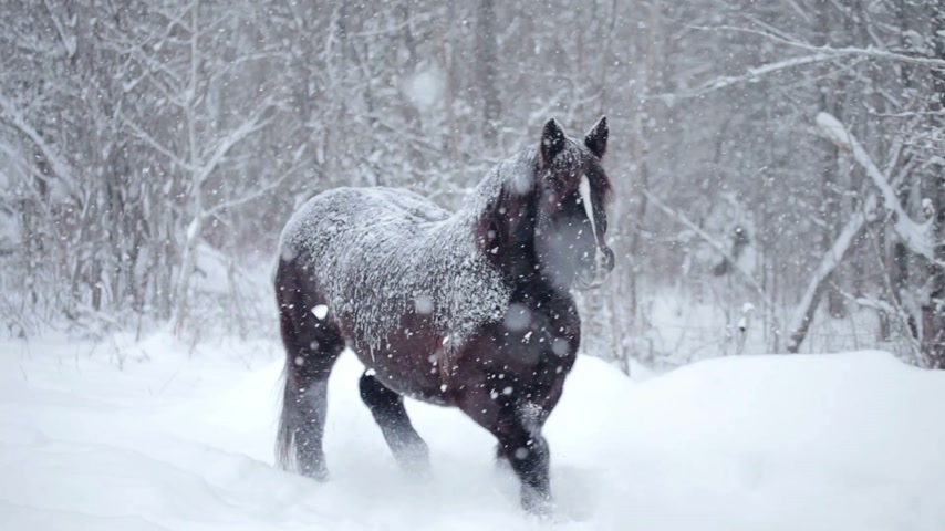 koń : Horses Outdoor during a Cold Winter Blizzard