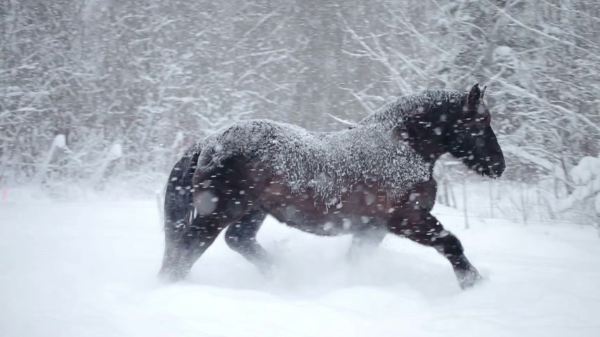égua : Horses Outdoor during a Cold Winter Blizzard