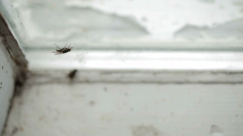owady : Nasty Housefly Indoor on a Window Pane