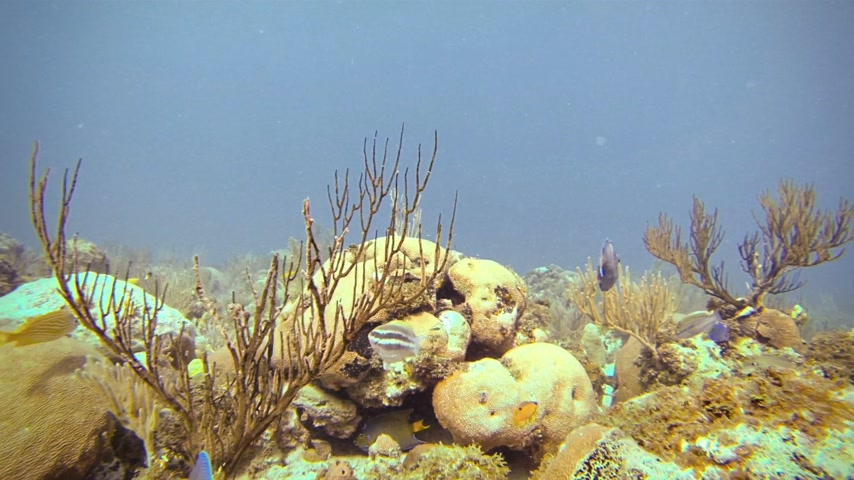 kolombiya : Lots of Tropical Fishes Underwater in San Andres, Colombia Stok Video