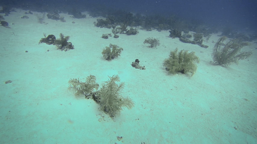 Колумбия : Beautiful Wild Stingray Deep Underwater in San Andres, Colombia