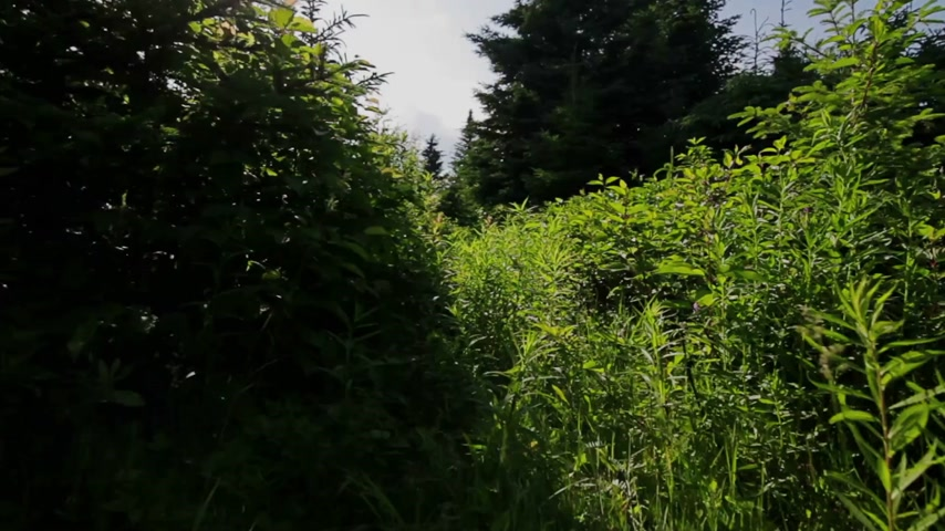 bétula : Personal Point of View (POV) of someone walking in forest during Summer