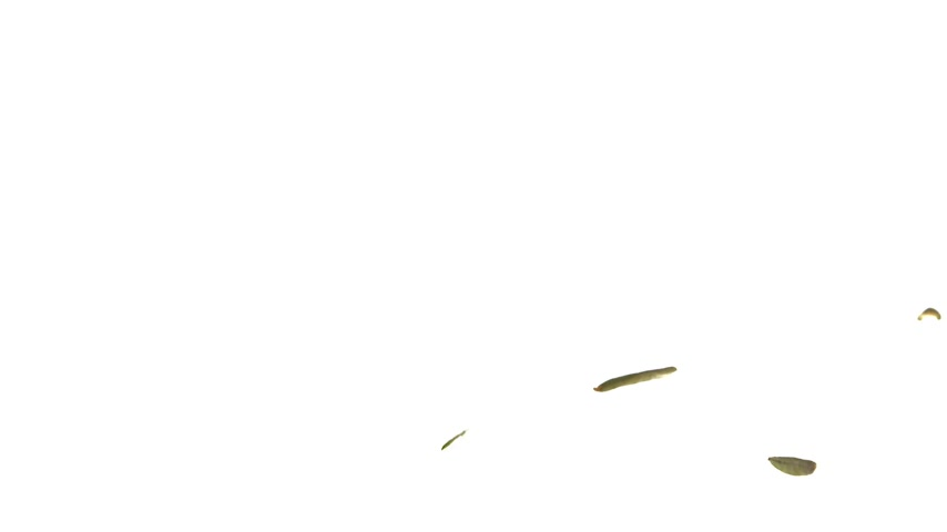 folha : Super Slow Motion Labrador tea Falling on White Background