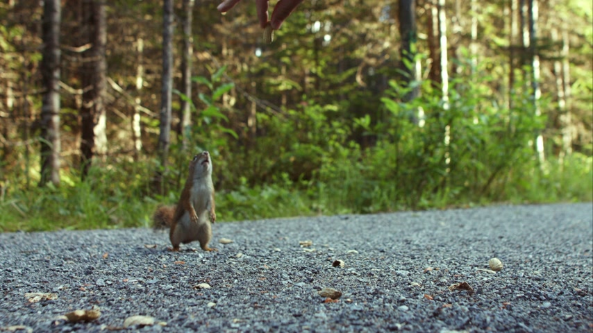 orzechy : Human hand Feeding a Squirrel in Nature Wideo